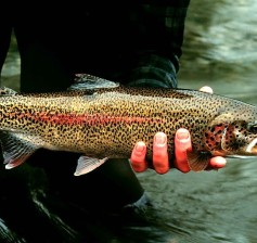 800px-Rainbow_trout_fish_onchorhynchus_mykiss_detailed_photography